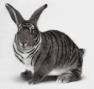 793 coelho zebrado